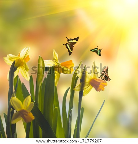 First spring flowers - yellow daffodil over sunlight - stock photo