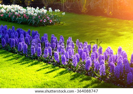First sunlight glowing marvelous hyacinth flowers in the Keukenhof Gardens. Beautiful spring scene in Netherlands, Europe. - stock photo