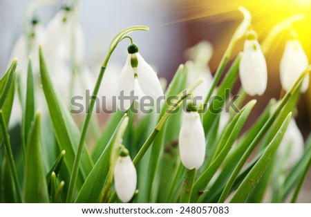 first wild spring snowdrops with soft focus, perfect for postcard - stock photo