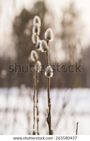 first willow twigs, blooming in spring forest - stock photo