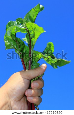 First young beetroot just pulled from the ground. Top leaves held in the hand and held aloft, set against a clear blue background. - stock photo