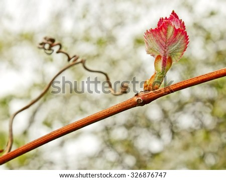 First young reddish grape leaf on the vine with tendril sprouting in springtime, close up - stock photo