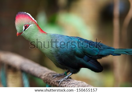 Fischer's Turaco (Tauraco fischeri) is a species of bird in the Musophagidae family. - stock photo