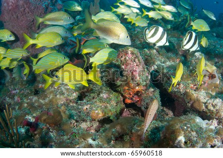 Fish aggregation including Banded Butterflyfish, French Grunts and White Grunts, on a reef in south east Florida. - stock photo