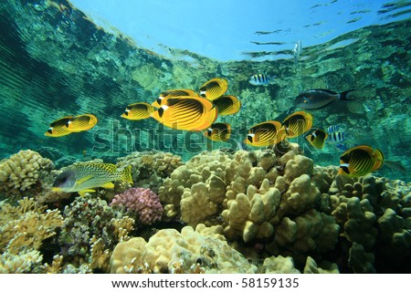 Fish and coral: Butterflyfishes on a shallow reef - stock photo