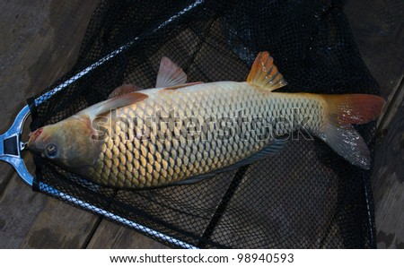 fish caught on the pier and the ratio of the size hands to fish - stock photo