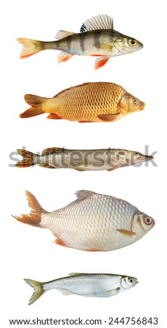 Fish collection isolated on white background  - stock photo