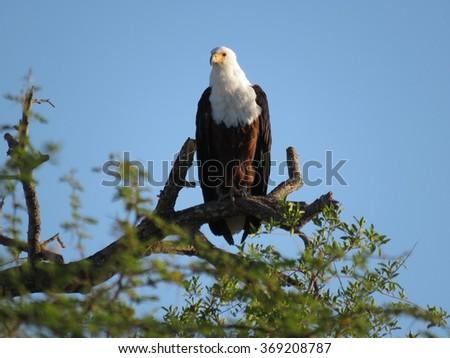 Fish Eagle. - stock photo