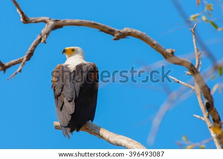 Fish Eagle ( African) looking over shoulder - stock photo