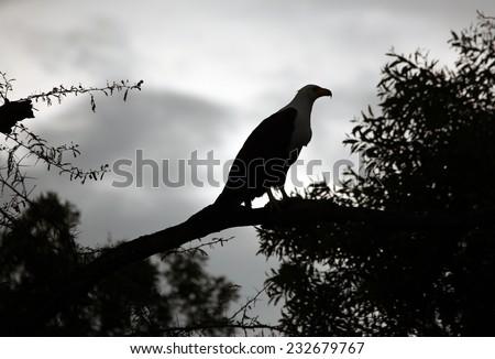 Fish eagle silhouette - stock photo