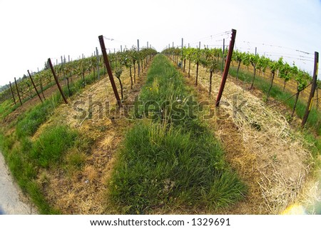 fish eye picture of rows of young grapes in wineyards of southen Germany region Rheinland Pfalz - stock photo