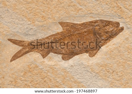 Fish fossil of the Knightia herring genus dating from the Eocene epoch.  - stock photo