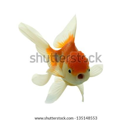 fish, goldfish, gold, pet, white, bowl, aquarium, motion, isolated, tropical, orange, underwater, color, golden, background, nature, carp, animal, ocean, fishbowl - stock photo
