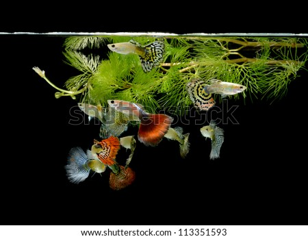 fish guppy pet isolated on black background - stock photo