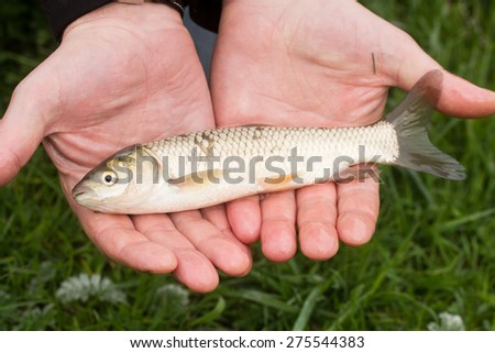 fish in hand - young specimen of grass carp - stock photo