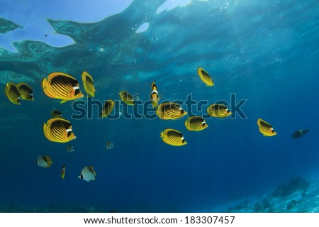 Fish in Ocean: Red Sea Raccoon Butterflyfish - stock photo