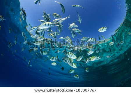 Fish in Ocean (Scissortail Sergeant Majors) - stock photo