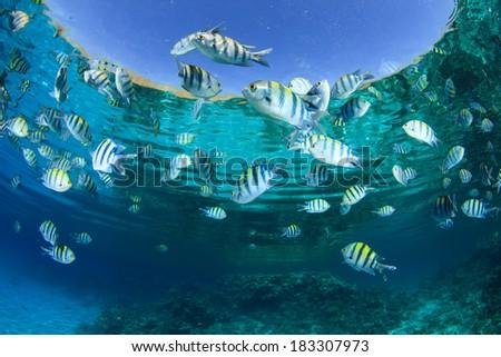 Fish in Ocean (Scissortail Sergeant Majors) - stock photo