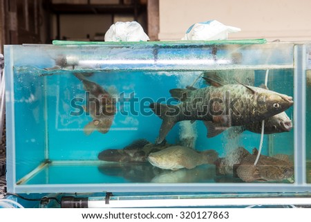 fish in the aquarium swim belly up - stock photo