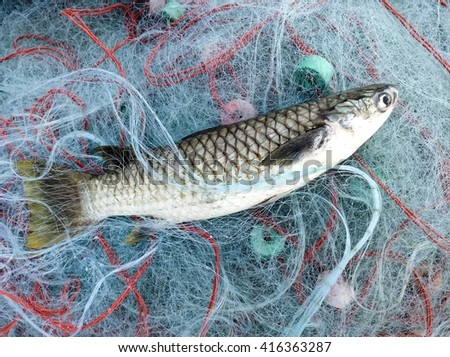 Fish on net/catch by fishing net/Black fin mullet/diamond scale mullet /saltwater fishery  - stock photo