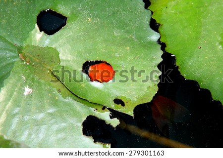Fish on the lotus pond - stock photo
