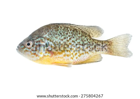 fish on white background - young specimen of common sunfish - stock photo