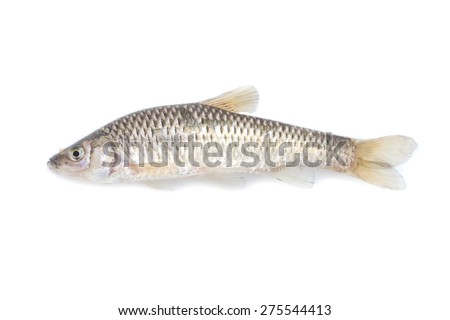 fish on white background - young specimen of topmouth gudgeon - stock photo