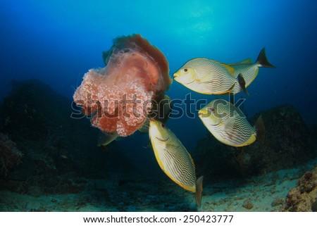 Fish (Rabbitfish) eating Jellyfish - stock photo