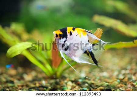 fish scalar in the planted aquarium - stock photo