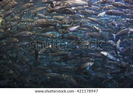 Fish school shoal in blue ocean underwater (Barracudas) - stock photo