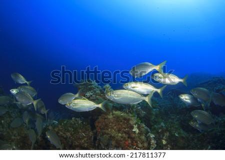 Fish school underwater in ocean - stock photo