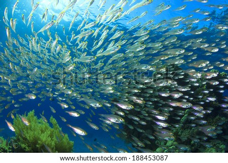 Fish Shoal: Glassfish or Golden Sweepers - stock photo