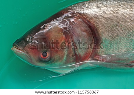 Fish silver carp,hypophthalmichthys molitrix in water - stock photo