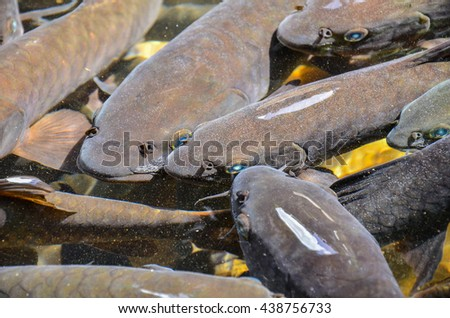 Fish swimming around  in  waterfalls natural sources .relaxation of the fish in the pond - stock photo