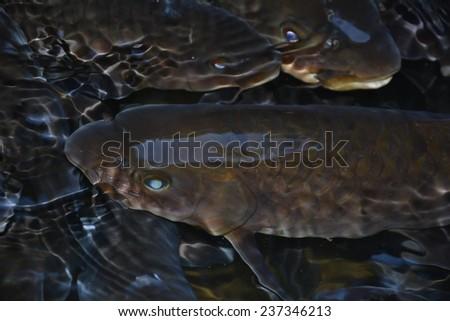 Fish Waterfall - stock photo