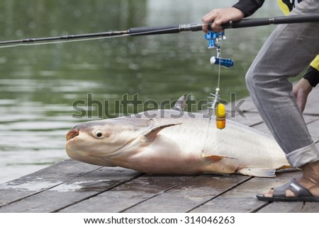 Fisherman caught a giant catfish. - (Selective focus) - stock photo