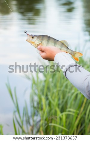 Fisherman on the river bank, a fisherman caught a perch. Fisherman holding a perch in his hand. Big bass, silicone lures, fish, catch, spinning - concept of active rest.Article about fishing and fish. - stock photo