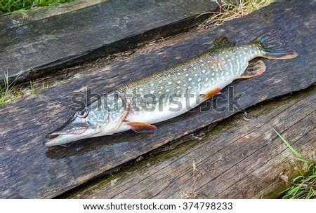 Fisherman trophy - Caught pike lies on the old wooden boards - stock photo