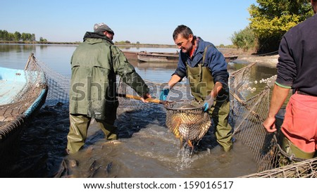 Fishermen at Work. Fishing Industry.  A fishermen scoops up fish from a net.   - stock photo