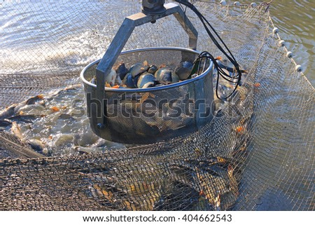 Fishermen catch a freshwater fish from the fish pond with agricultural machinery and prepare for sort and sale - stock photo