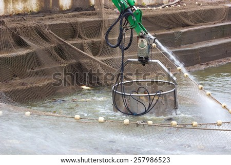 Fishermen classified caught Carp fish in size and weight, Classification of fish, Photography - stock photo