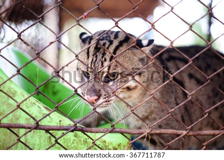 Fishing Cat in a cage - stock photo