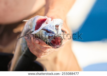 Fishing - man angler cleaning preparing fish aboard boat, outdoors. Cruelty to animals. - stock photo