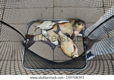 Fishing net full of big breams catching in a river - stock photo