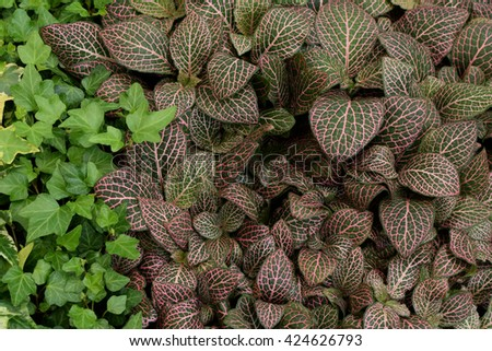 Fittonia albivenis nerve plant painted net leaf with pink veins pattern and green ivy. Groundcover foliage nature background. - stock photo