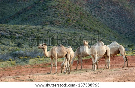Five camels relax towards the end of the day. - stock photo