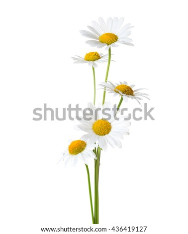 Five  Chamomiles isolated on white background. - stock photo