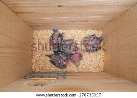 Five cockatiel baby birds in a nest box - stock photo