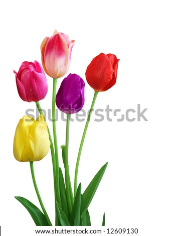 Five colorful tulips, isolated on white - stock photo