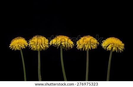 Five dandelion flowers on black background. Dandelion flowers.  - stock photo